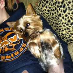 Yorkie ❤.....lmao this is me and Louie all day'