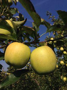 Apples / Golden Delicious Reinders