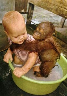 Baby Orangutang Taking a Bath With Child