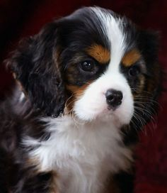 King Charles Cavalier Spaniel puppy . . Welcome to the Laughing Cavaliers
