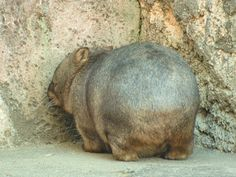 Wombat Fat Animals, Animals And Pets, Funny Animals, Australia Animals, Quokka, Paws And Claws, Bacchus, Little Critter, Weird Creatures