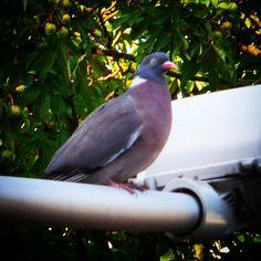 Gołębsen stand by! #golab #ptaki #pidgeon #bird