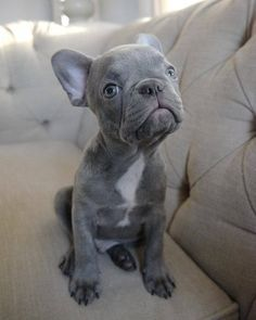 French Bulldog On Instagram Sweety G U S By Tank Gus Frenchie Frenchi French Bulldog Puppies Bulldog French Bulldog