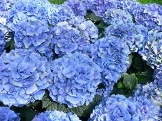 Reflowering hydrangeas produce an initial flush of   flowers followed by sporadic flowering or later flushes of flowers in   the same growing season. Description from northescambia.com. I searched for this on bing.com/images