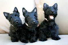 One thing about Scotties: NO shortage of personality!  Love these sweet babies!  <3