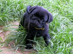 wallpapers and screensavers | PUG WALLPAPER SCREENSAVERS BACKGROUND PHOTOS