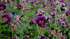 1 Geranium phaeum Samobor Black Morning Widow Hardy Shade Plant