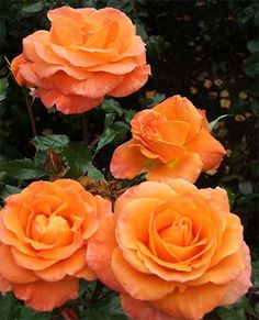 New Year - orange blend, 20 petals, 1983, rated 7.1 (average) by ARS.