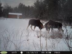Bull moose fighting  http://pleasantriverguides.com/