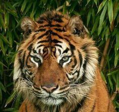 tiger thoughts