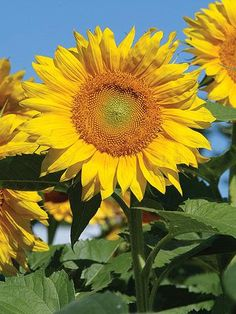 Dazzling blooms and surprising hues give sunflowers real flower power. Try one -- or more! -- of these towering, sun-loving annuals to boost the fun factor in your Midwest garden.  From the July/August 2010 Issue of Midwest Living. Sunflowers will make you smile no matter what variety you plant but, hopefully, this list will inspire you!