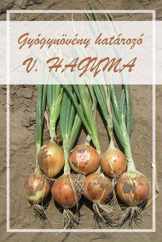 A Vöröshagyma népies neve: Vereshagyma, hajma. Hogyan gyűjtsük a Vöröshagyma gyógynövényt?  A zsenge hagyma tavasszal, az érett vöröshagyma pedig ősszel szedhető. Első évben hozza a fogyasztásra alkalmas hagymáját, második évben a szárat, a virágot és a magot. Super Foods, Influenza, Allium, Eggplant, Onion, Herbs, Vegetables, Therapy, Onions