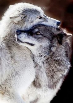Wolves by and large mate for life and packs consist of a male-female pair and their pups. The older offspring will even help the mother in looking after the almost helpless newborns.