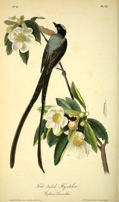 The birds of America :. New York :J.B. Chevalier,1840-1844.. biodiversitylibrary.org/page/40383272