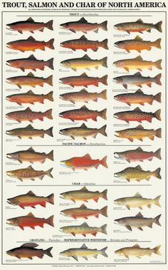 Trout, Salmon and Char of North America