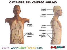 Cavidades del Cuerpo Humano 2_Ciencias de la Salud_1