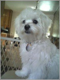 otis's new haircut - Maltese Dogs Forum : Spoiled Maltese Forums