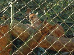 Puma - Zoo de São Paulo