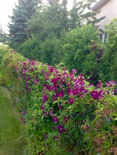 Clematis And Virginia Creeper Covering A Chain Link Fence