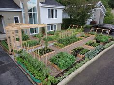 Vegetable garden in someones front yard!