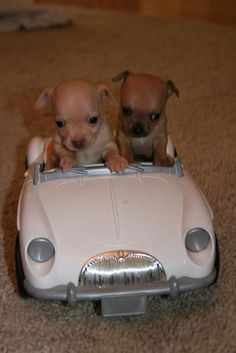 Seriously, what's cutier than two puppies driving a fake car! LOL! Love this!