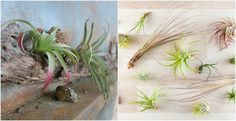 How To Grow Air Plants (Tillandsia) & Why You Should