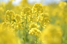 Canola Flowers ~ Sea of Yellow, by snowshoe hare.