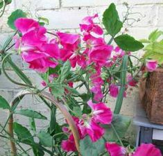 Sweet peas: how to sow in late winter, spring or autumn Big Flowers, Growing Flowers, Fall Flowers, Amazing Flowers, Prince Of Orange, Cottage Garden Plants, Cold Frame, Flower Show, Bloom