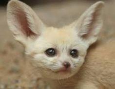 Fennec Fox, Kitten, Cats, Animaux, Cute Kittens, Kitty, Gatos, Kitty Cats, Cat