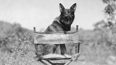 "Rin-Tin-Tin, Rin Tin Tin (Sept 1918 – Aug was a male German Shepherd rescued from a WWI battlefield by an American soldier, Lee Duncan, who nicknamed him ""Rinty"" Duncan trained him & obtained silent film work for the dog. Rinty appeared in 27 films. War Dogs, German Shepherd Rescue, German Shepherds, San Bernardo, Famous Dogs, Famous People, Today In History, American Soldiers, Golden Age Of Hollywood"
