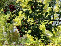 Hawthorn (Crataegus monogyna) in the valley of Mill creek. Jarama Valley. Community of Madrid. Spain.