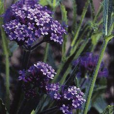 Purple Verbena Bonariensis . For garden sheds and raised garden beds visit www.gardenshedco.co.nz