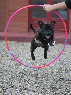 Dog - Staffordshire Bull Terrier - Hoblivion on www.yummypets.com
