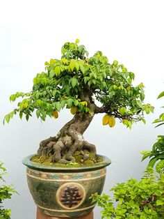 Wondering How Bonsai Trees Are Made? Bonsai Fruit Tree, Japanese Bonsai Tree, Bonsai Tree Care, Bonsai Tree Types, Mini Bonsai, Bonsai Plants, Bonsai Garden, Fruit Trees, Bonsai Tree Price