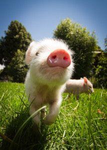 The Little Pig Pen