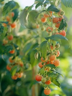 Cane Berries  Raspberries and blackberries grow on long stems called canes. On most types, the cane doesn't fruit until its second year of g...