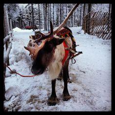 Rovaniemei, Finland Scandinavian Design, Finland, Horses, Places, Nature, Animals, Naturaleza, Animales, Animaux