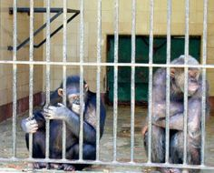 """""""Protests at Tel Aviv University Animal Testing Lab After Chimp Forced to Read Haaretz Kills Itself"""" ------------------------------------------ In January 2016, the Daily Freier uncovered an Israeli tragedy. #TBT ------------------------------------------  #Haaretz #TelAvivUniversity #TelAviv #IsraelNews #AnimalTesting #Chimps"""