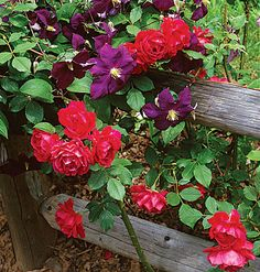 Clematis - This clematis rambles along a rustic fence where, next to ruby red roses, its jewel-toned blooms double the flower quotient. For vertical color, train the vine on a trellis instead.
