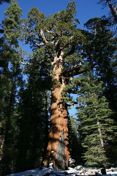 """True Giant, Grizzly Tree - Yosemite's Largest Redwood Tree, CA.""""the heavens declare the glory of God and the earth shows forth his handiwork"""" (Psalm Nature Sauvage, Old Trees, Unique Trees, Big Tree, Nature Tree, Tree Forest, Nature Scenes, Tree Of Life, Amazing Nature"""