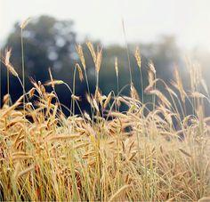 Summer Field Art Photography Fine Art Print by cottagelightstudio