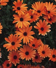List of cold and frost tolerant annuals for planting in early spring