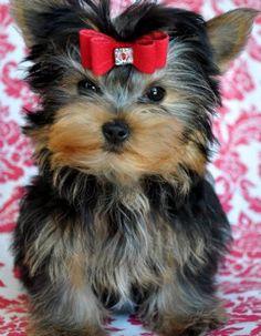 Tiny Yorkie Puppy  24oz Stunning AKC Female  Cost: 1,350.00