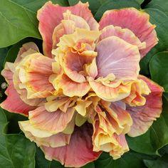 Big Bad Flower - Queen of Dream #hibiscus, $24.99 (http://www.bigbadflower.com/cajun-hibiscus/queen-of-dream-hibiscus/)