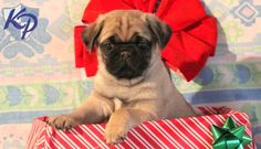 Keystone Puppies has a puppy finder feature setting you up to find and buy a dog perfect for your home. Pug Puppies For Sale, Puppy Finder, Buy A Dog, Pugs, Awesome, Animals, Animales, Animaux, Animal