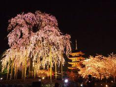 まさに幽玄の美しさ!全国各地の「しだれ桜」の名所10選 | [たびねす] by Travel.jp