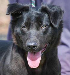 Adopt Mason On Australian Shepherd Dogs Australian Cattle Dog - Dora german shepherd