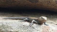 Iron lizard - Melbourne Zoo