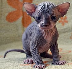 Sphynx kitten, from a real species of a cat - the Sphynx. Aww so cute! This page has lots of different pictures of these cats and their kittens - 4 son and daughter bunting - Sphinx Forum - Canadian, Don Sphynx and Petersburg Cute Cats And Dogs, Cool Pets, I Love Cats, Cats And Kittens, Baby Animals, Funny Animals, Cute Animals, Bambino Kitten, Rare Cats