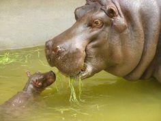 awe, baby hippo